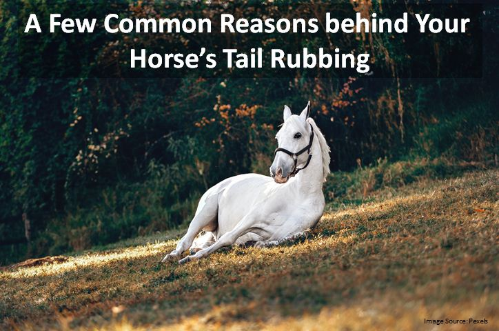 A Few Common Reasons behind Your Horse's Tail Rubbing
